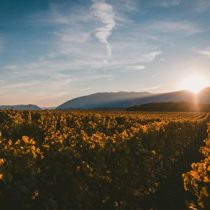 The sun setting behind the mountains and covering the vineyard with the light